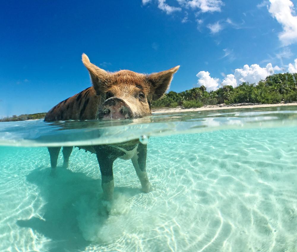 Bahamas pig beach charter