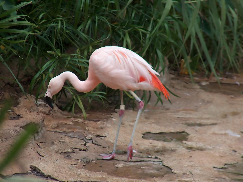 Bahamas flamingo